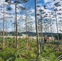 Agave flowers (tree-like stalk).
