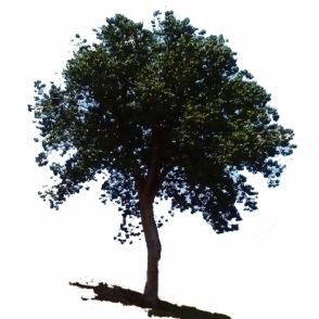 Ceiba tree, El Salvador